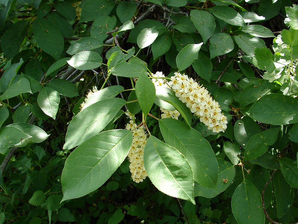 1024px-Prunus_virginiana_(chokecherry)_BLM