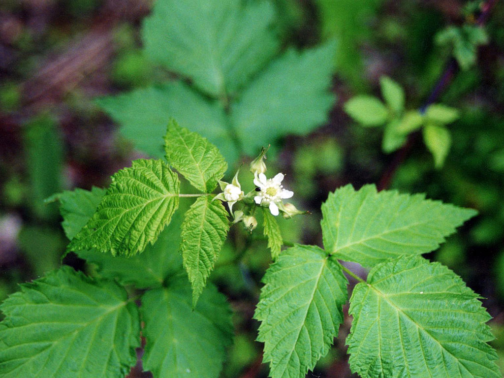 1024px-Rubus_occidentalis_NRCS-1