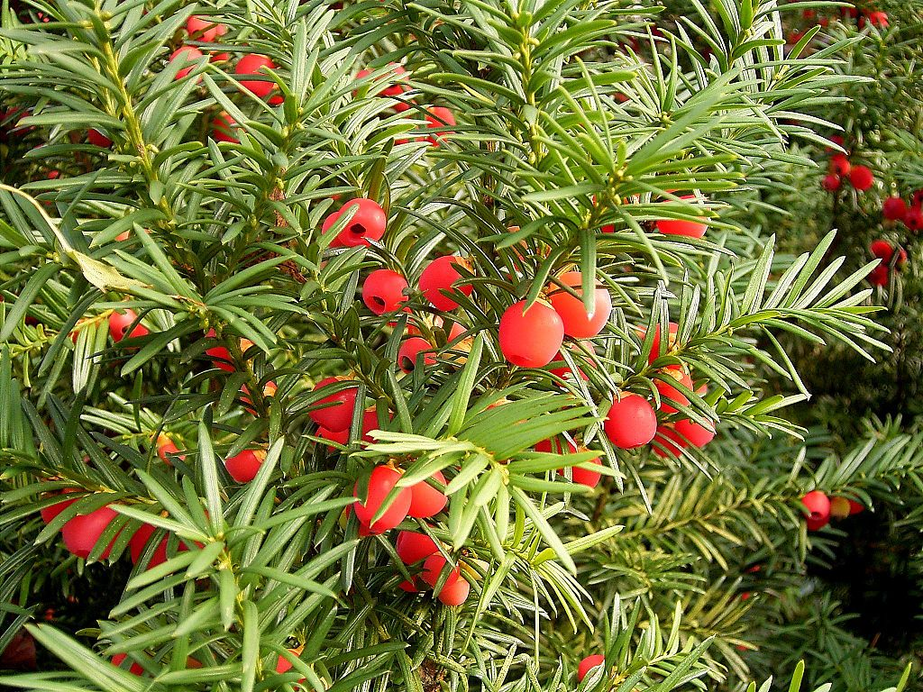 Yew Tree Growing Guide