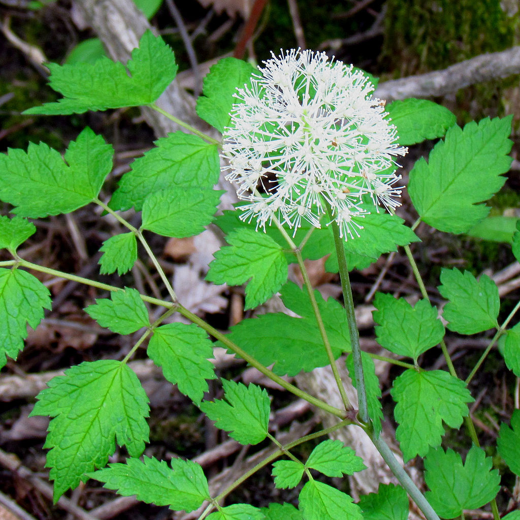 1024px-White_Baneberry leaves and flower