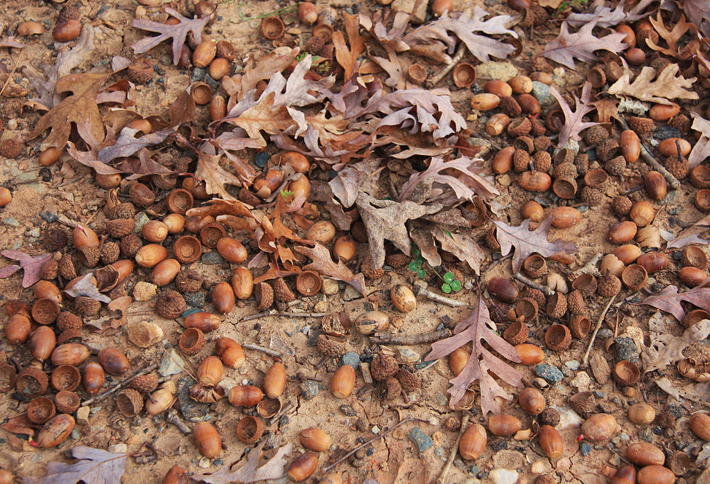 1024px-White_oak_Quercus_alba_prolific_acorns