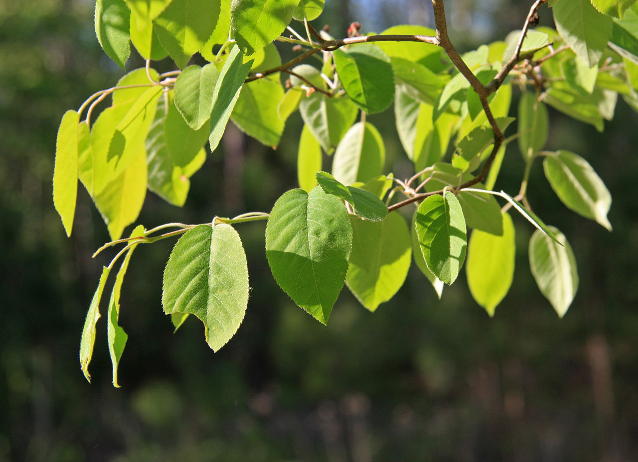 1280px-Amelanchier_arborea_leaves.JPG