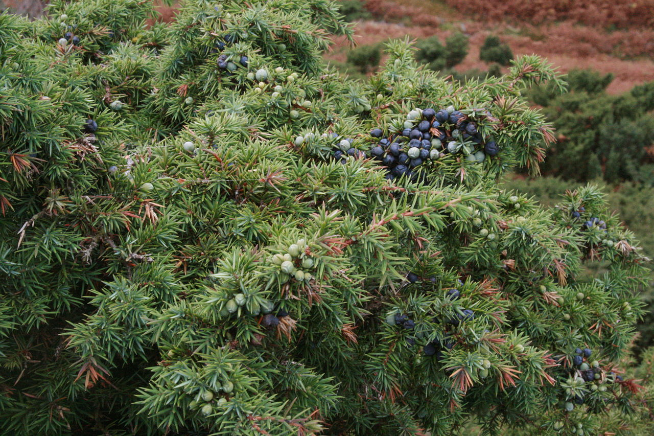 Juniper tree selecting growing guide for using the berries for The juniper