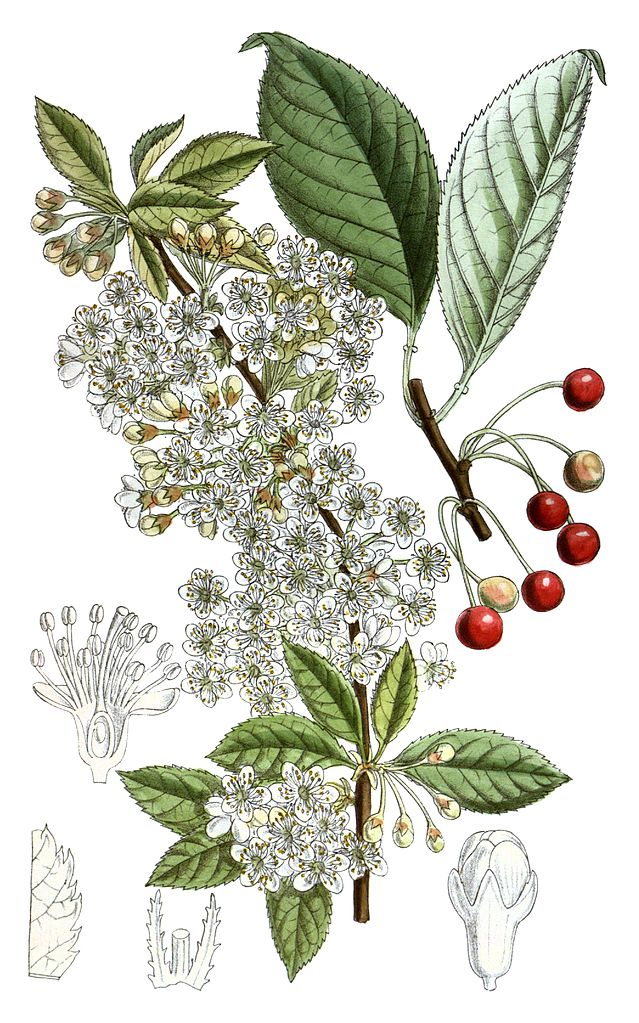 639px-Prunus_pensylvanica_Cleaned
