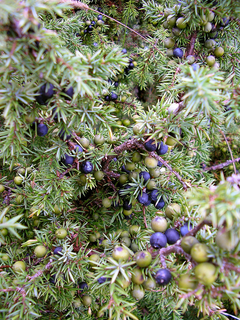768px-Juniperus_communis berries ripe and unripe