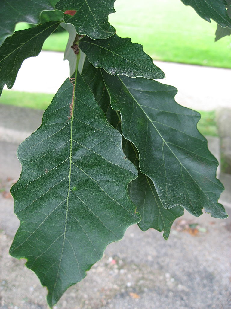 768px-Quercus_bicolor_leaves_01_by_Line1