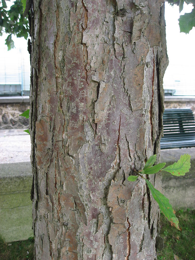 768px-Quercus_bicolor_trunk_01_by_Line1