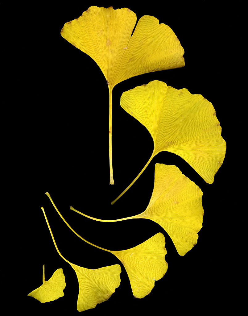 804px-GinkgoLeaves