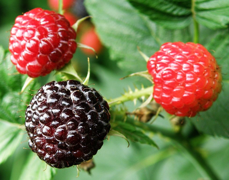 978px-Rubus_occidentalis_2008_07_06