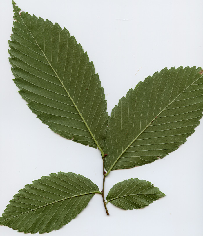 Branch with alternate leaves