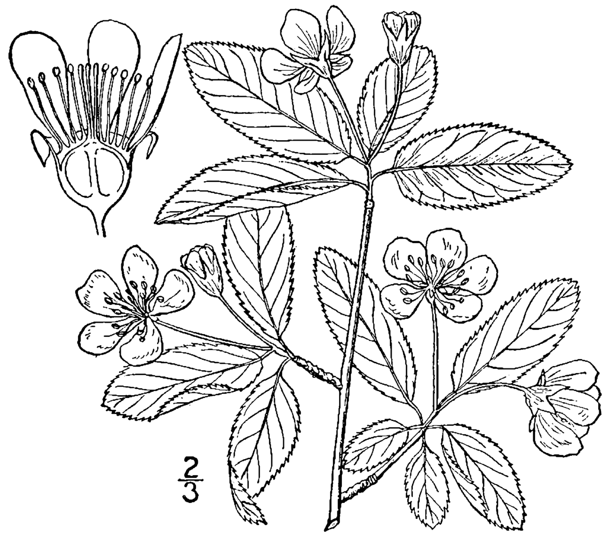 Amelanchier_bartramiana_drawing