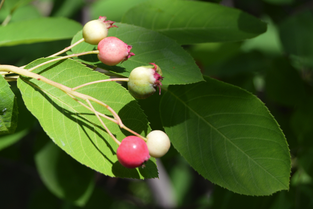 Amelanchier_canadensis_berry