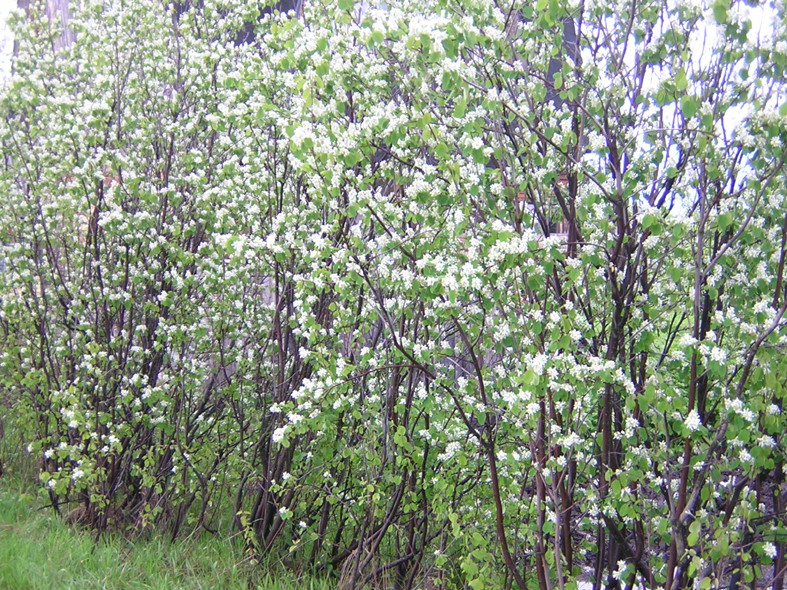 Amelanchier_canadensis_in_blossom