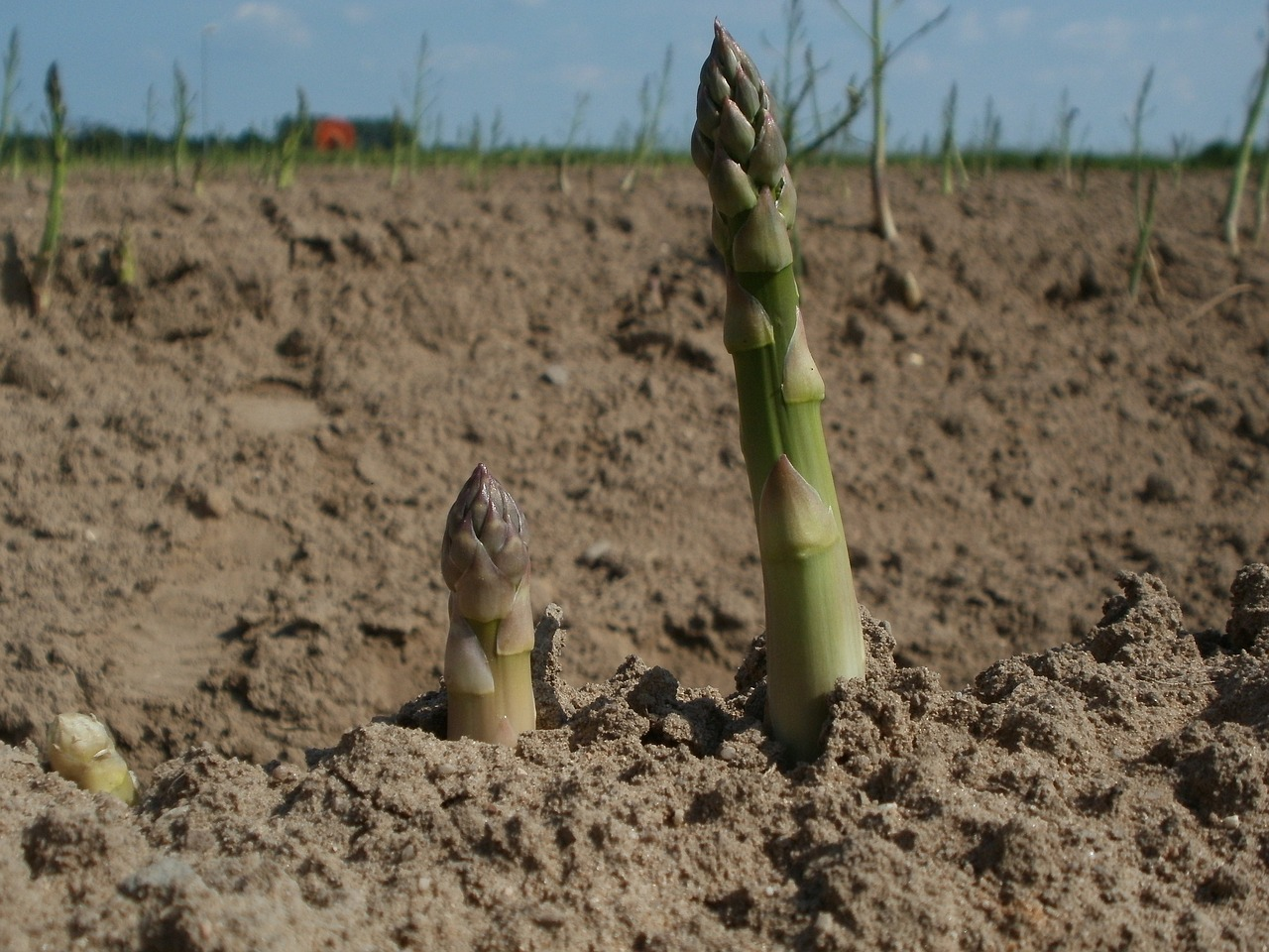 Asparagus just coming up
