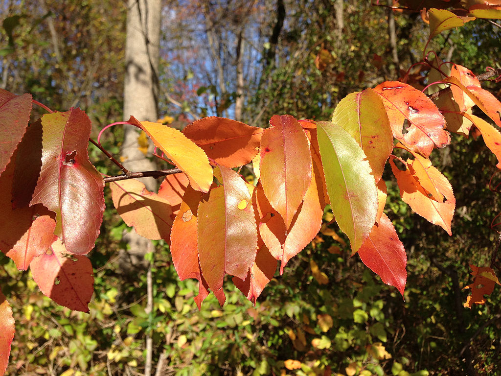 Black_Cherry_foliage_during_autumn