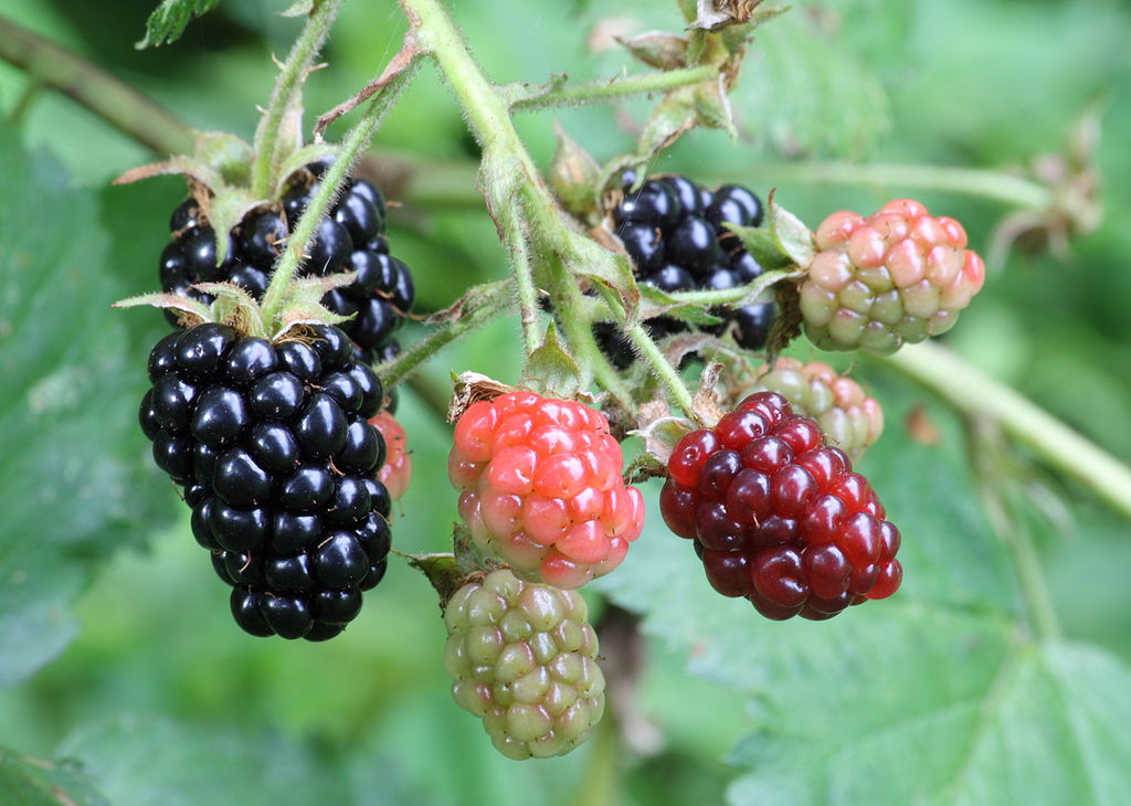 Blackberries in stages.jpg