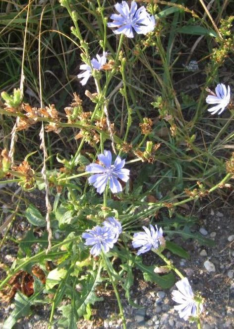 Chicory in flower