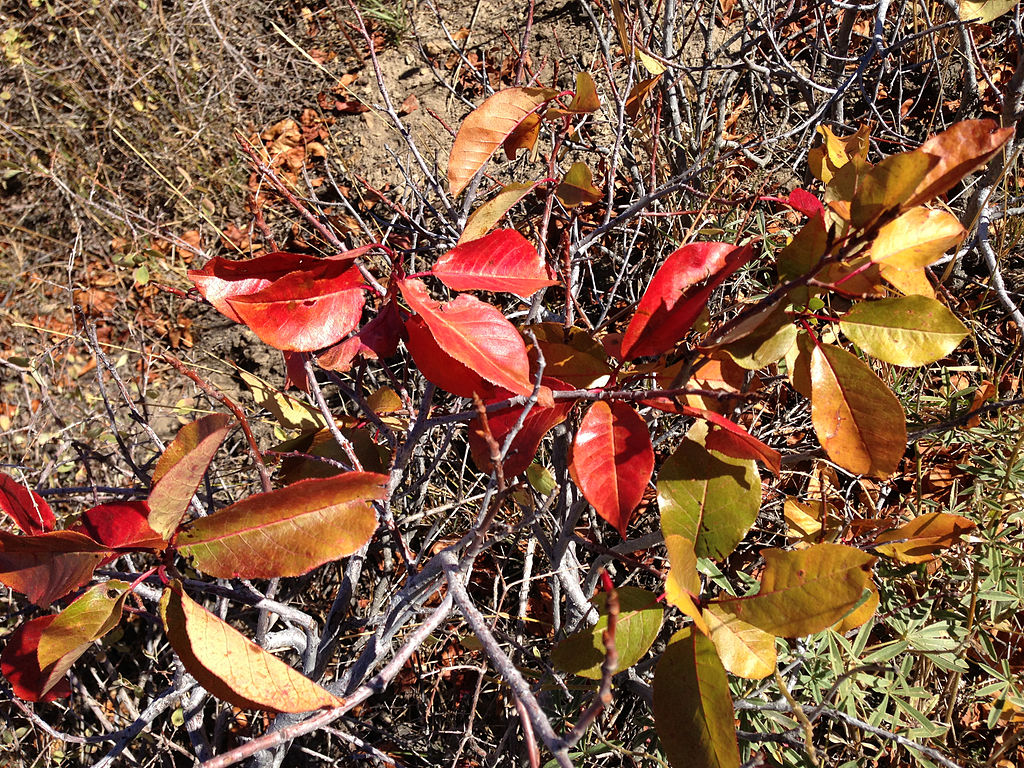 Chokecherry_showing_autumn_foliage