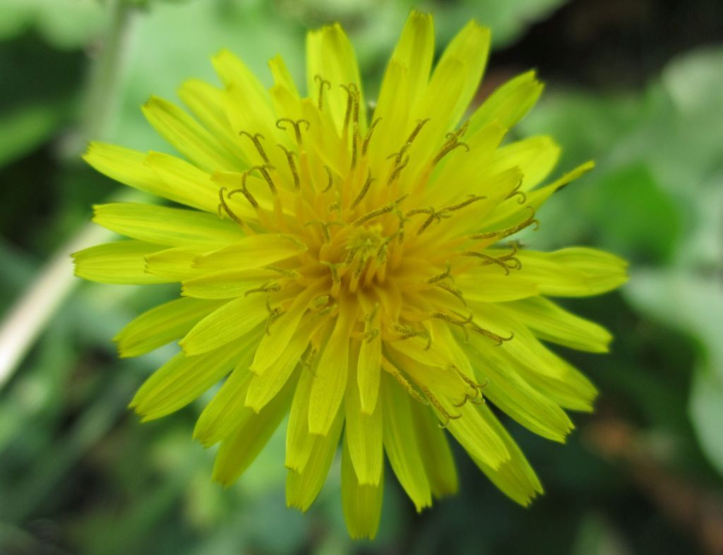 Dandelion Growing Guide