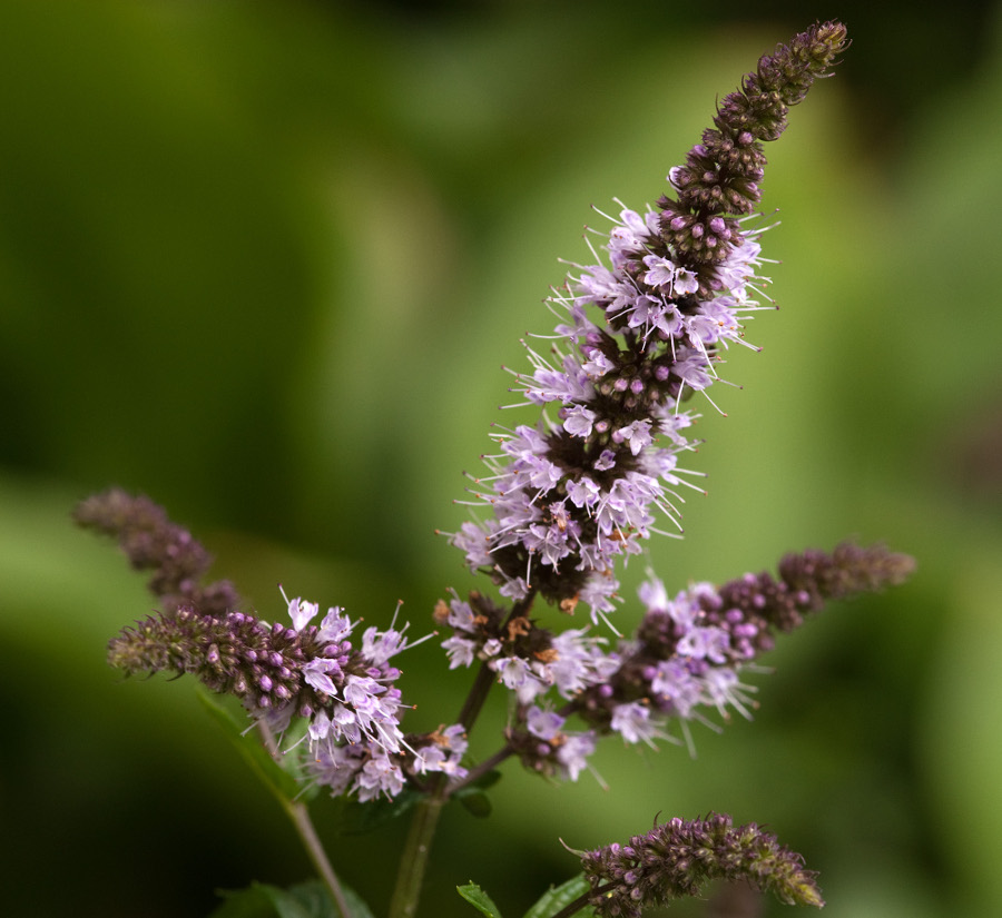 Flowers_of_Mentha_×_piperita