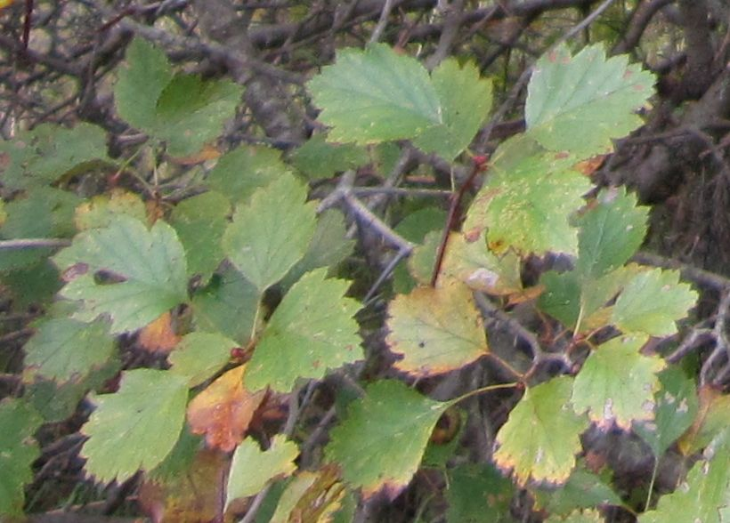 Hawthorn leaves.jpg