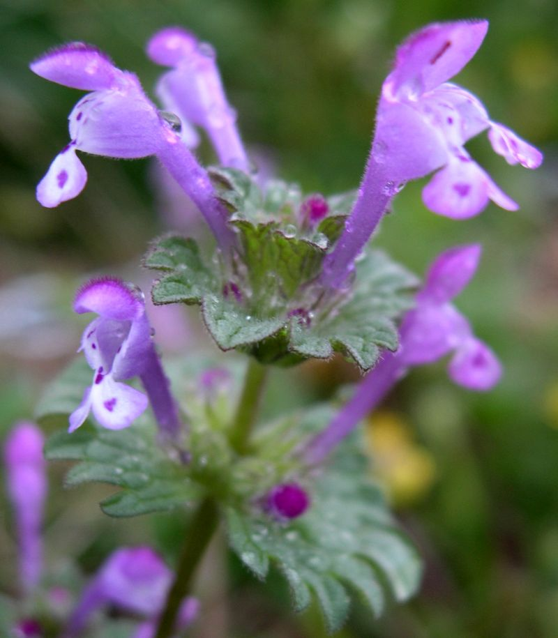 Picture of Henbit Flowers