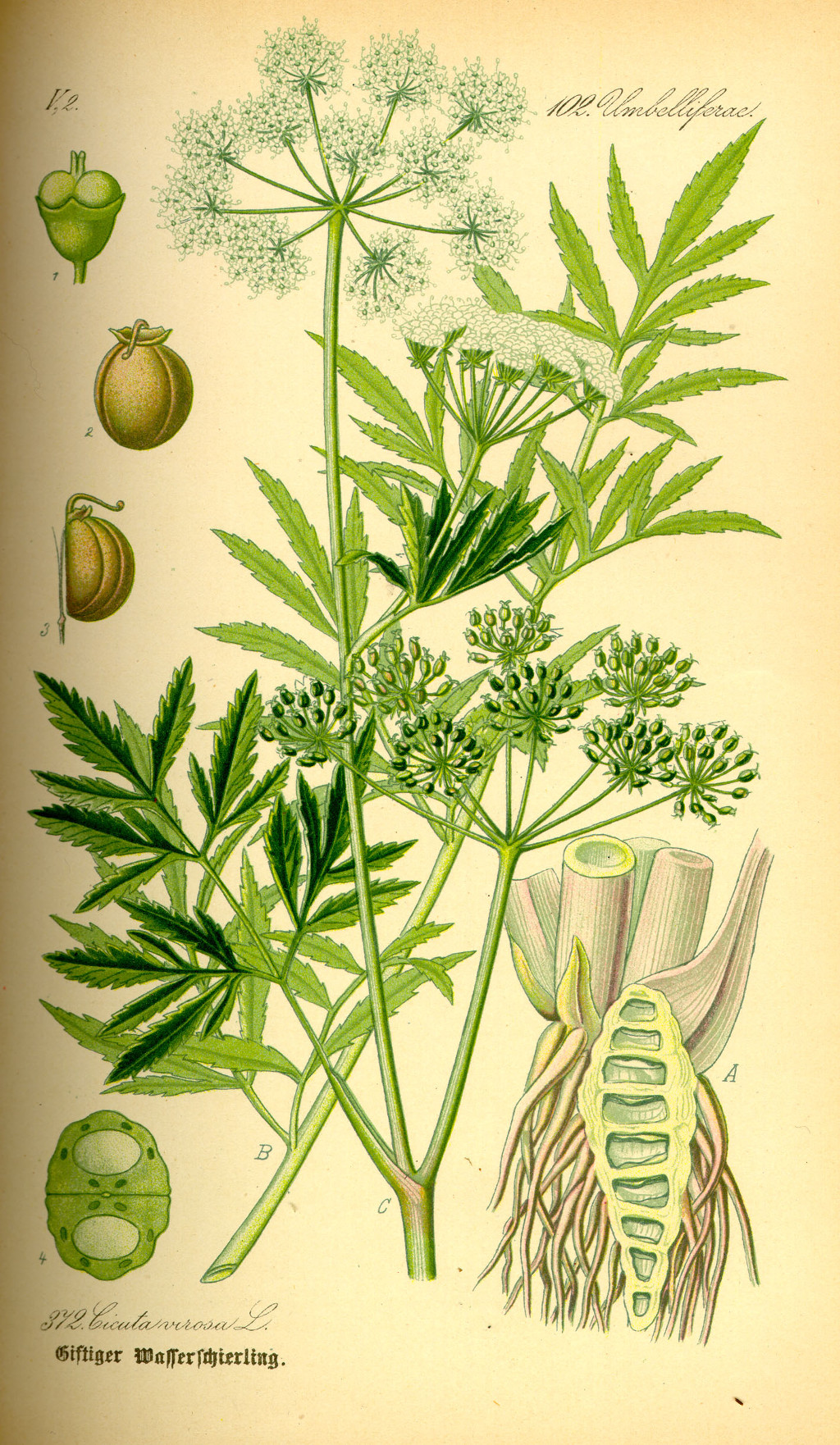Illustration_Cicuta_virosa0