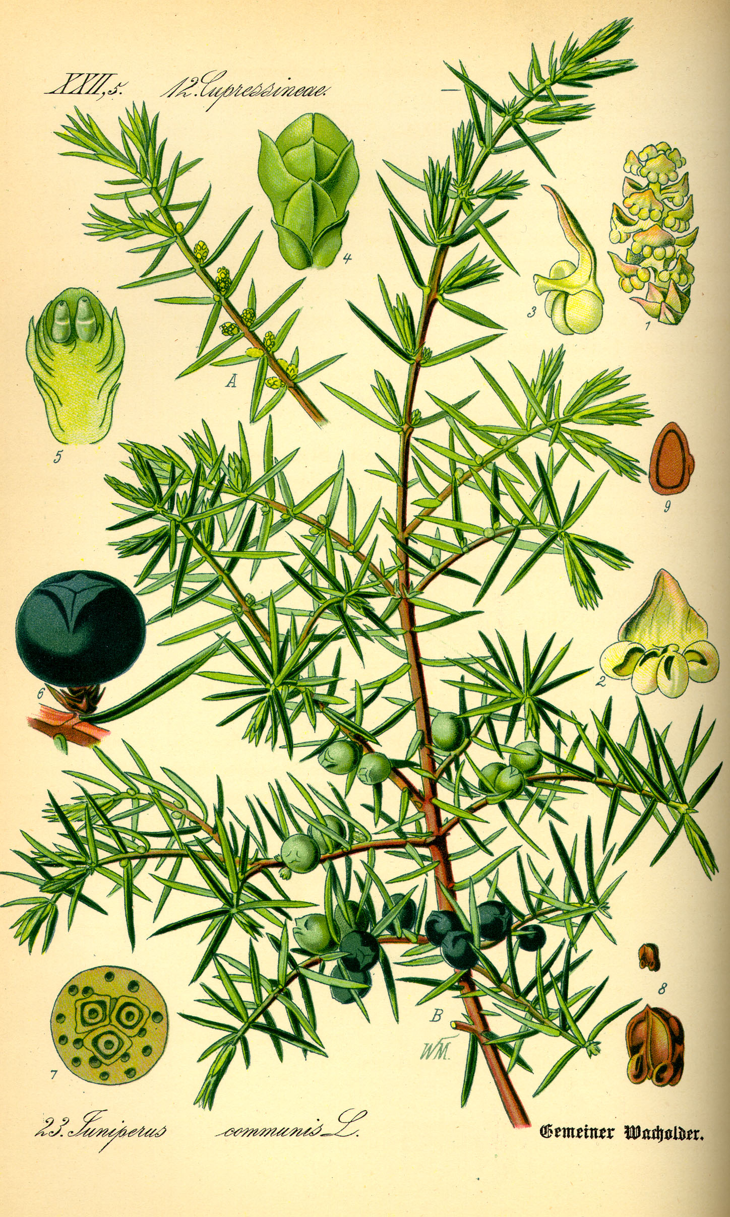 Illustration_Juniperus_communis0