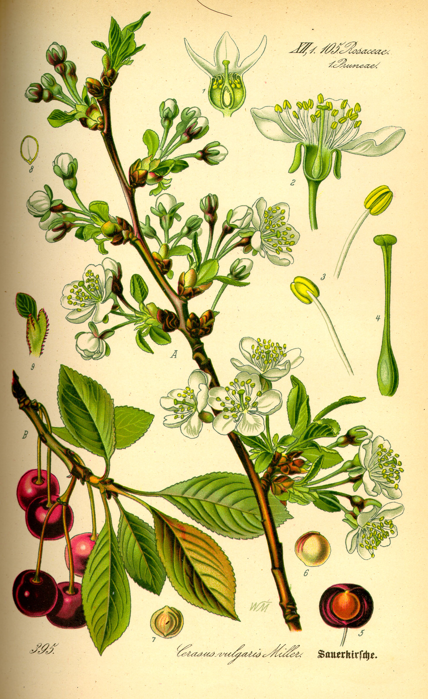 Illustration_Prunus_cerasus0