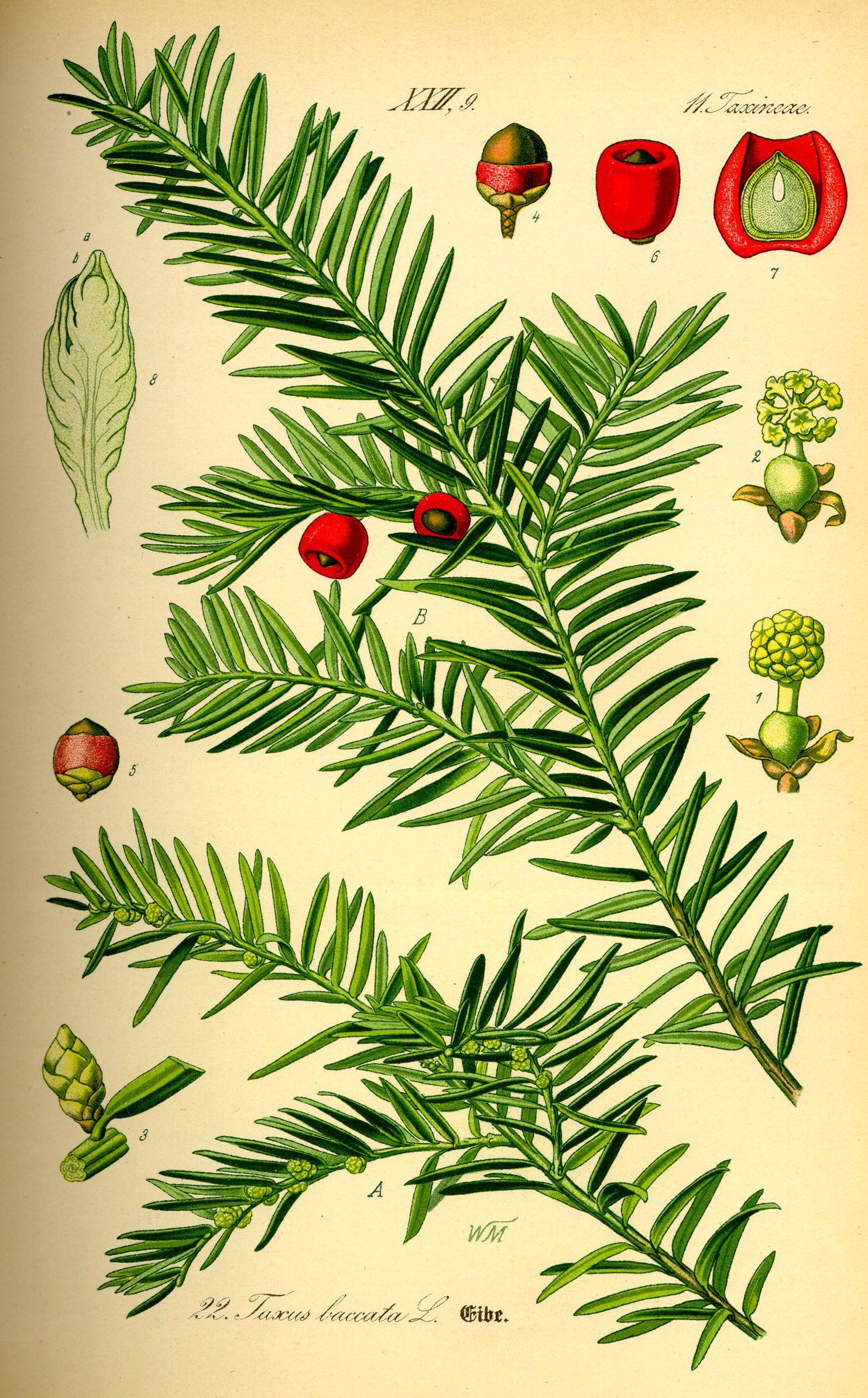 Illustration_Taxus_baccata0