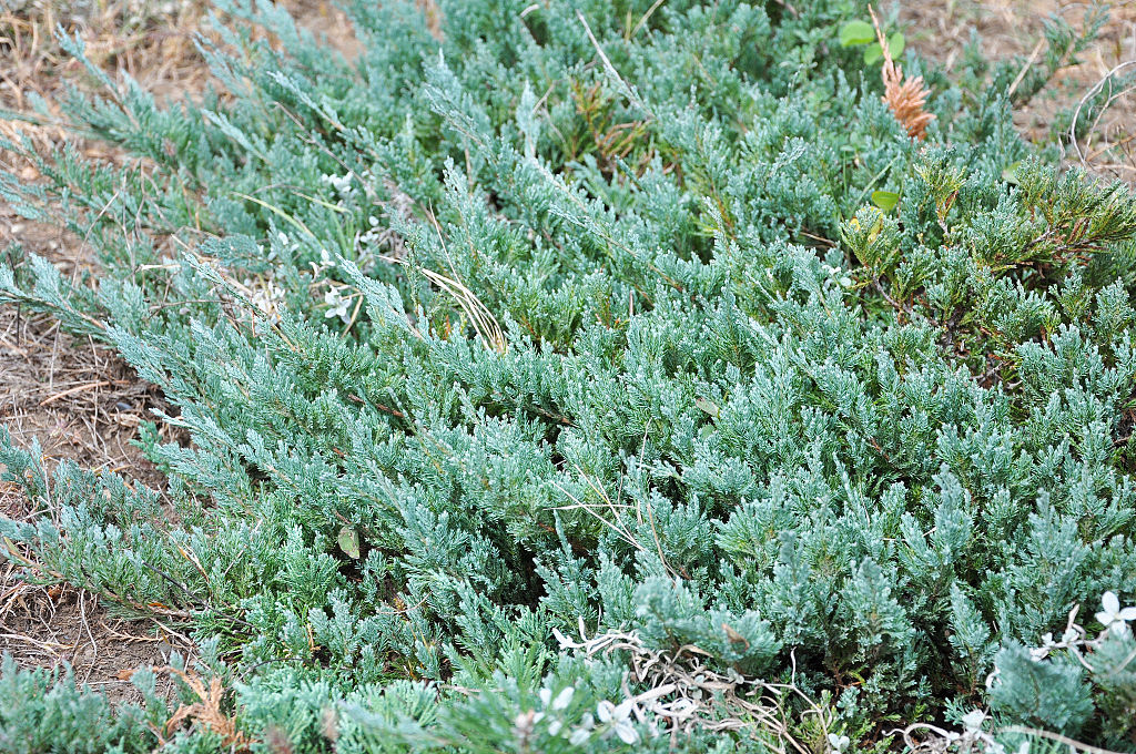 Juniper Tree Selecting Amp Growing Guide For Using The Berries