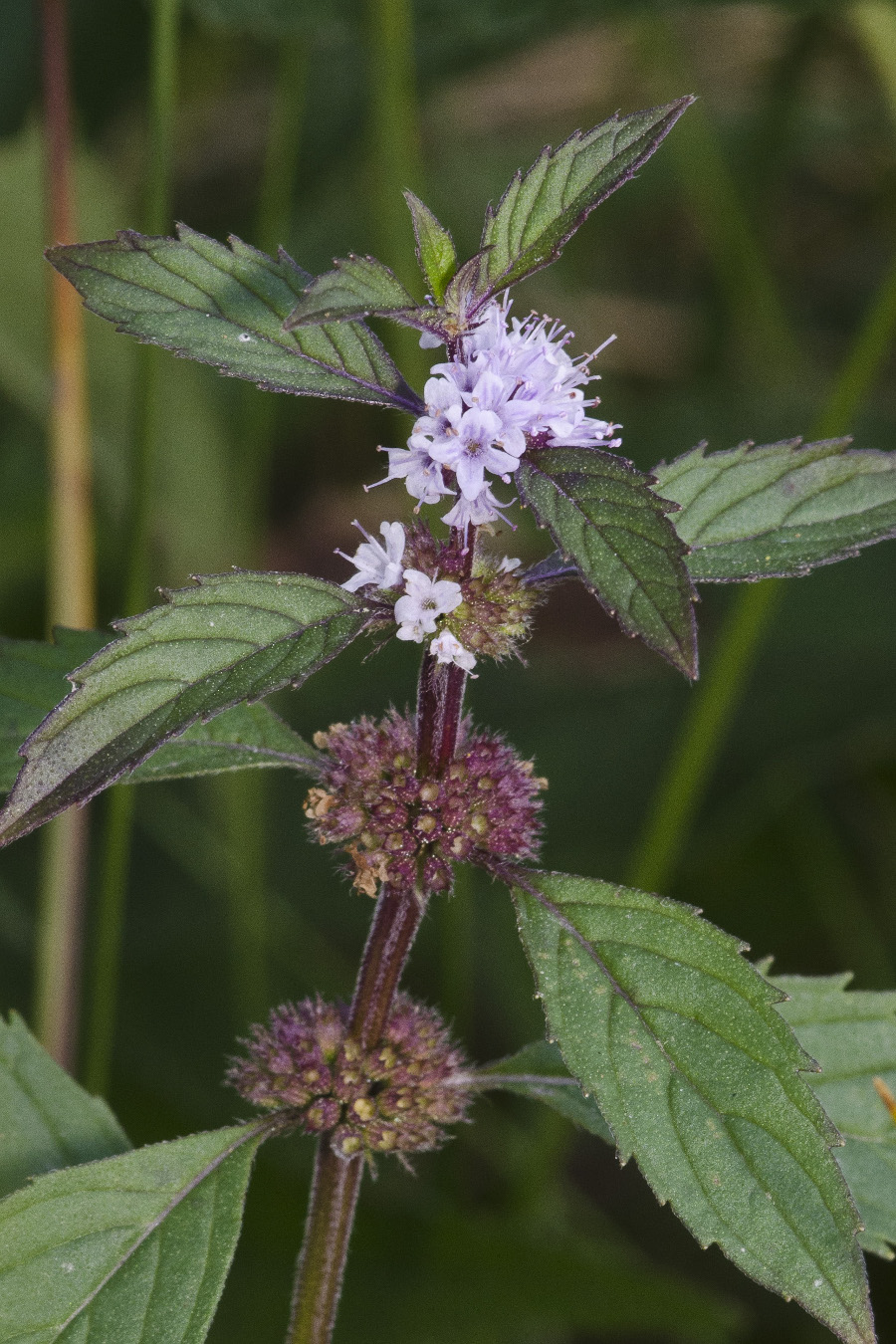 Mentha_canadensis