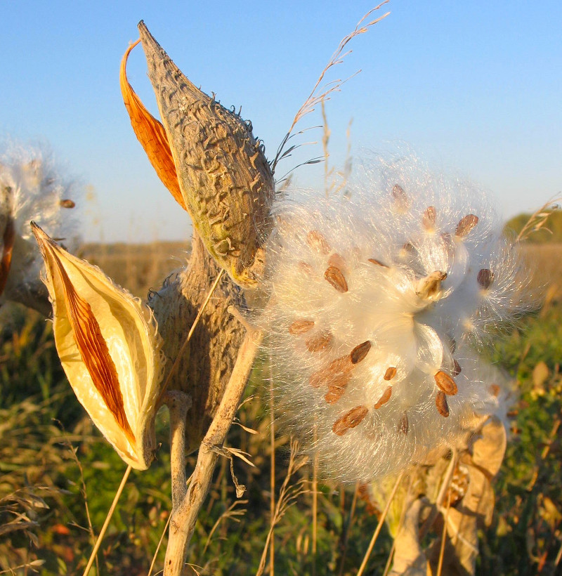 milkweed book notes Check out our new book connect with us (520) 321-  exposure, full sun to  partial shade water growth rate hardiness, 25°f notes:  threadleaf  milkweed is a spectacular plant when it is in bloom and its flowers last for a long  time.