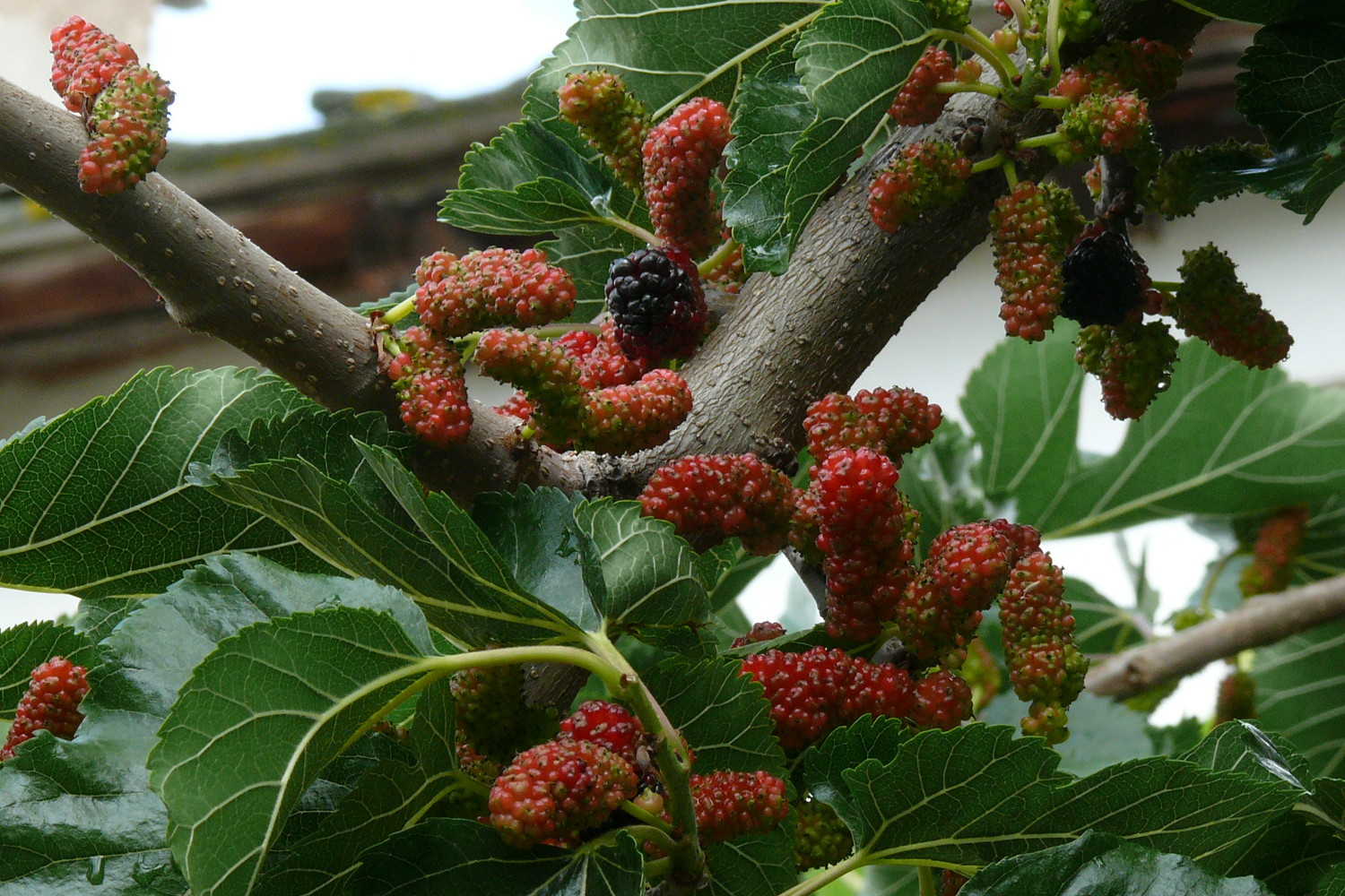 When do mulberry trees bear fruit wacissa mulberry tree just fruits polynesian produce stand dwarf everbearing black mulberry tree sciox Image collections