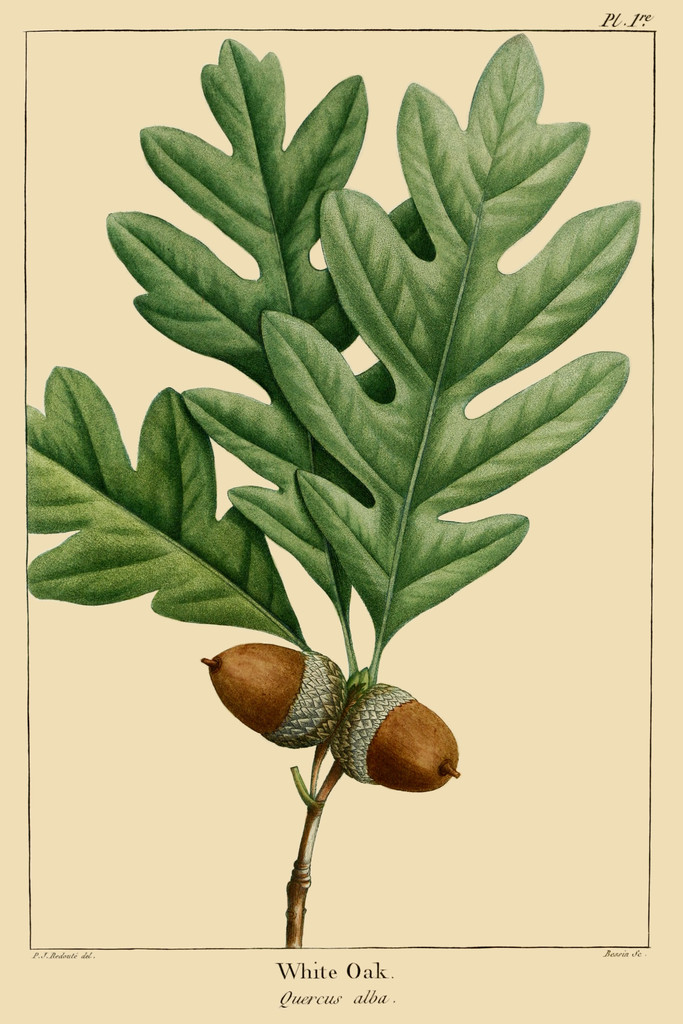 how to grow white oak trees from acorns