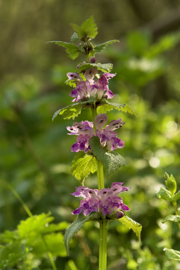 Purple Deadnettle side