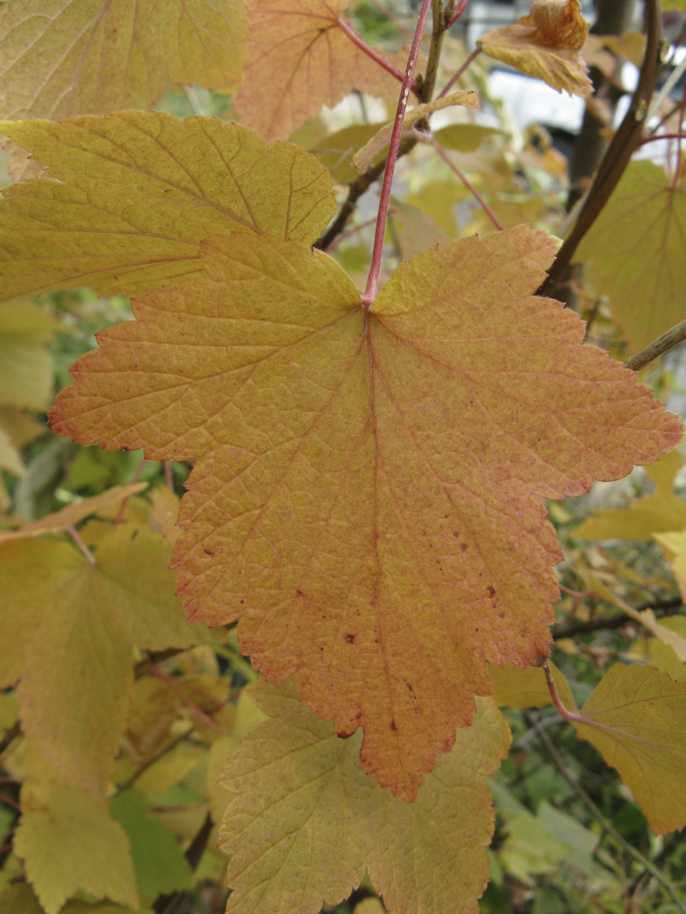 Ribes_americanum,_autumn_leaves_1.jpg