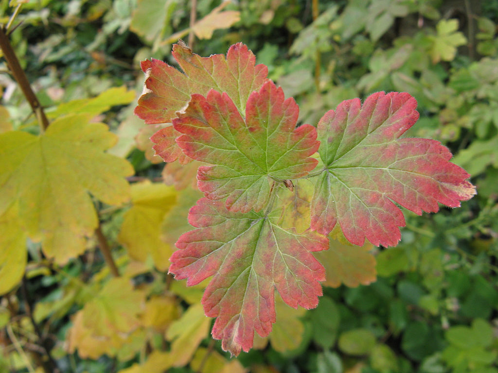 Ribes_cynosbati,_autumn_leaves_1