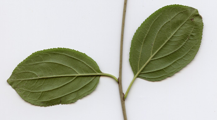 Branch with two Simple leaves