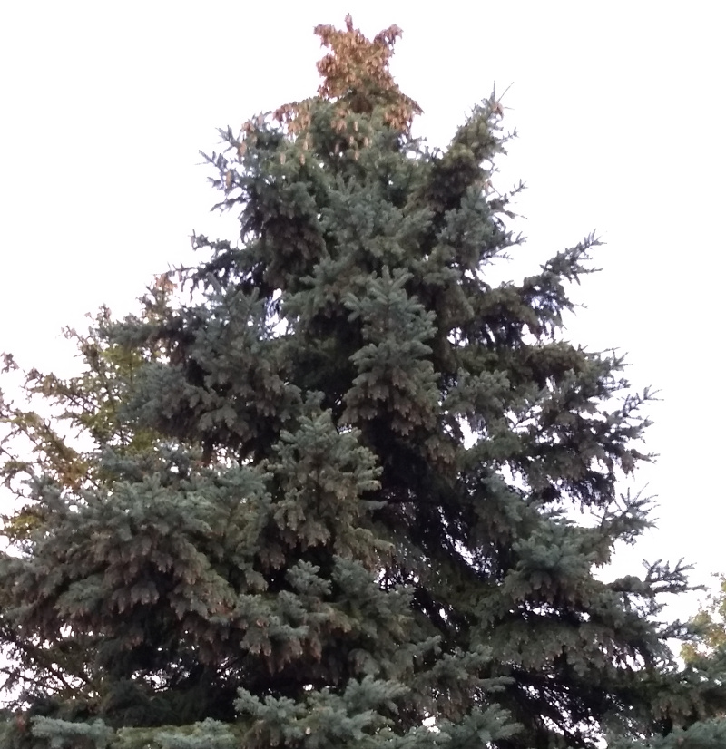 Spruce Laden with cones up high