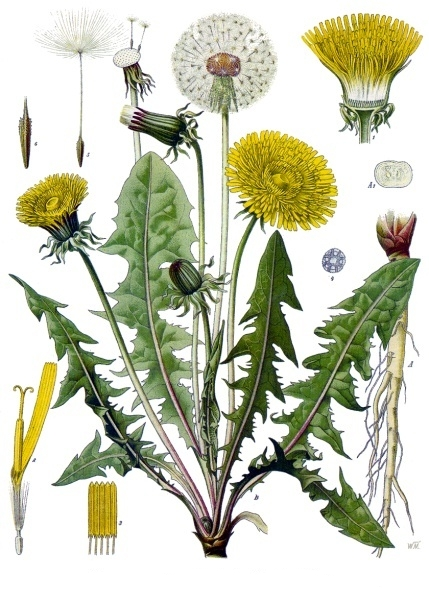 Taraxacum officinale drawing.jpg