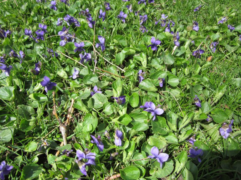 Group of Violets in with grass