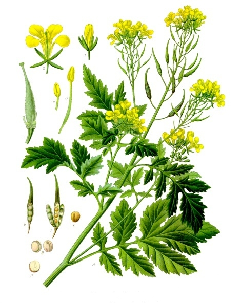 White Mustard color drawing