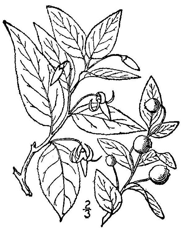 Southern Mountain Cranberry drawing